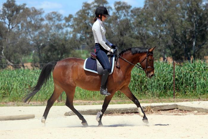 Show and Dressage Pony