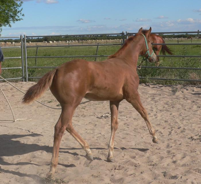 STUNNING SHOWSTOPPING FILLY
