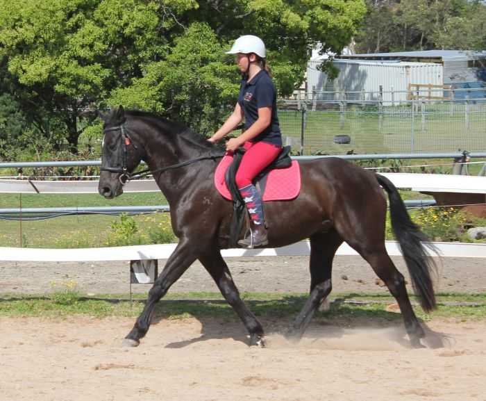 Experienced all-rounder 19yo 15.3hh