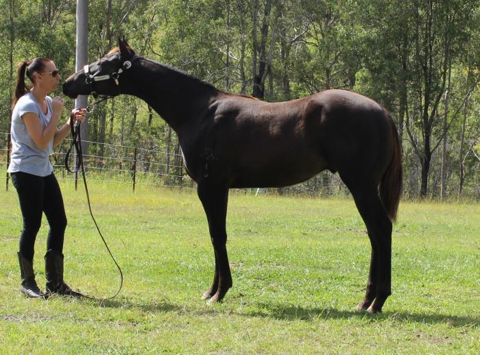 STUNNING BLACK WEANLING QUARTER HORSE GELDING