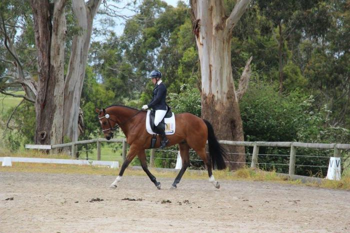 Competitive Dressage Horse