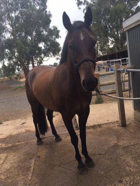 Bay Gelding Youngster