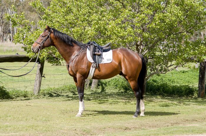 TB Stallion