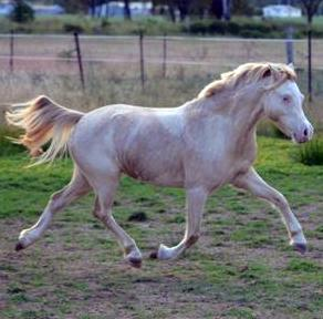 BEAUTIFUL GOLDEN PONY MARE. SHOW OR BREED