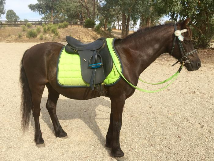 CAPTAIN MIDNIGHT: KIND ALL-ROUNDER 12.2HH GELDING