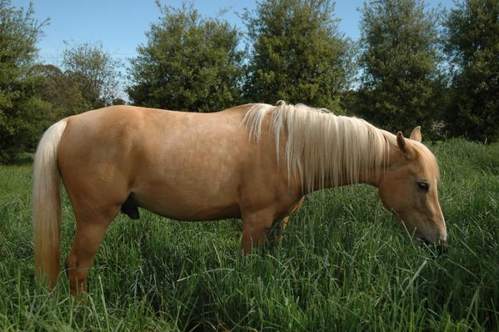 Palomino Part Arabian gelding