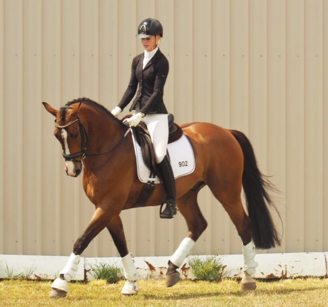 Warmblood gelding 16 hh 7yrs