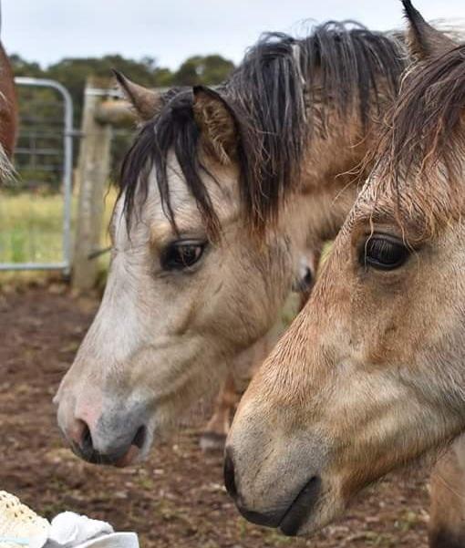 Stunning Buckskin Welsh Mountain colt