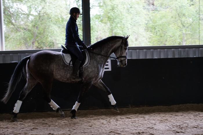 Nice young WB Gelding