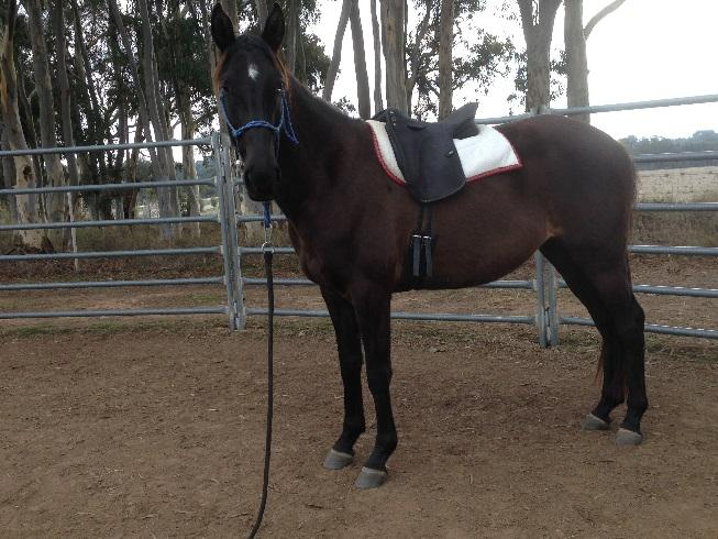 Athletic Andalusian x Tb