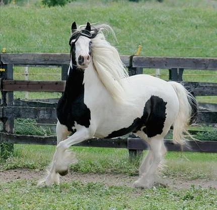 well Gypsy Vanner Gelding