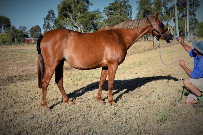 Well Bred Riding Pony Broodmare