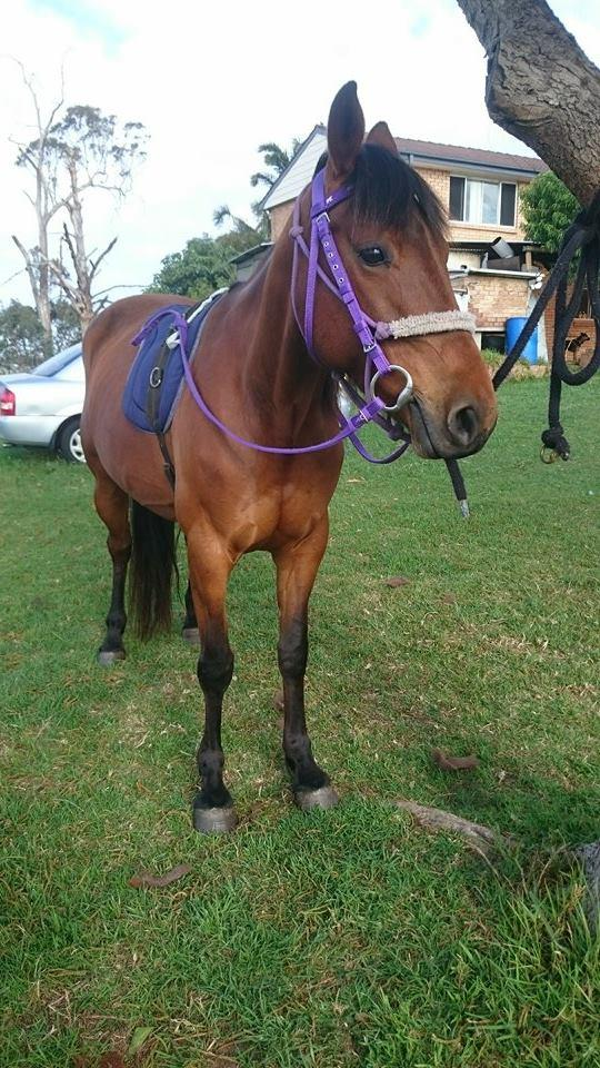 8yr 13.3 standy mare unraced