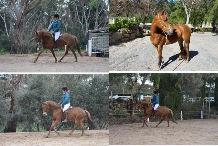 4yr old riding pony mare