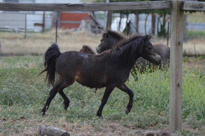 AMPS Filly For Sale