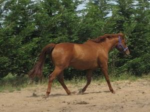 16hh AWHA main stud book Broodmare