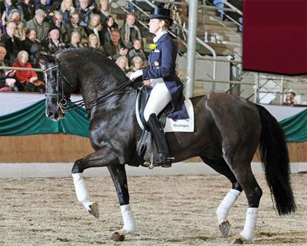 True future FEI candidate or future stud stallion