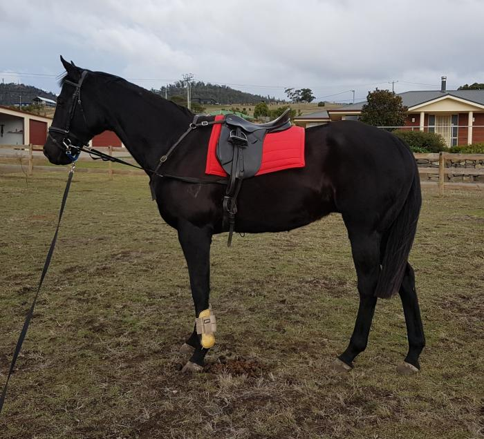 Quality Thoroughbred gelding