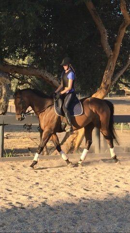 Pony Club / All-rounder TB
