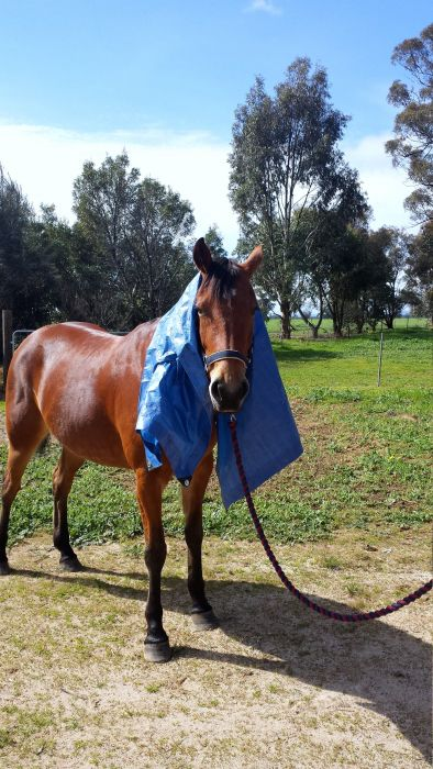 5yo QH Mare with HUGE potential