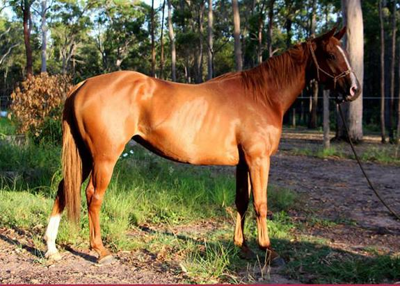 Lovely natured athletic mare