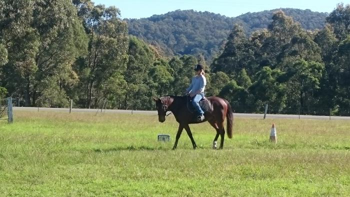 Kind Natured Stock Horse 11yr 15hh Bay