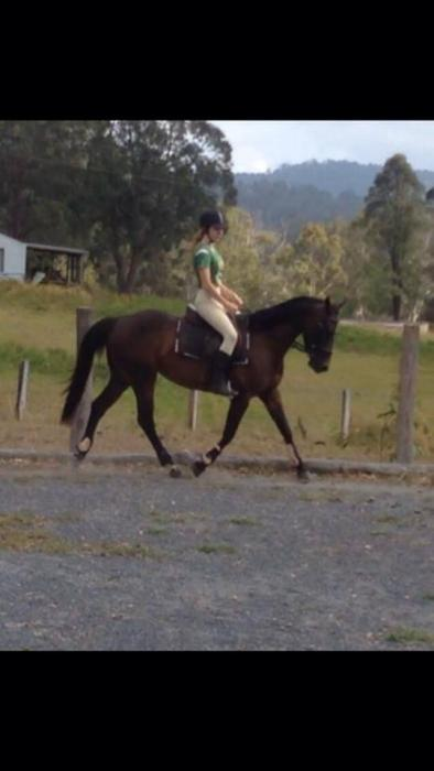 allrounder/ pony club mare