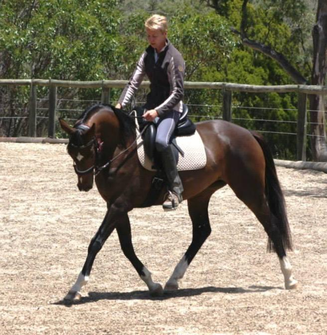 Beautiful and Rideable Hanoverian Young Horse