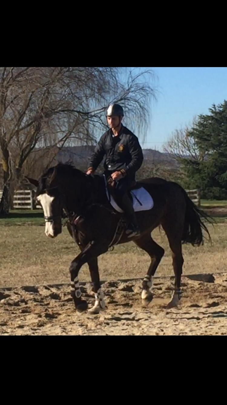 6 yo warmblood mare