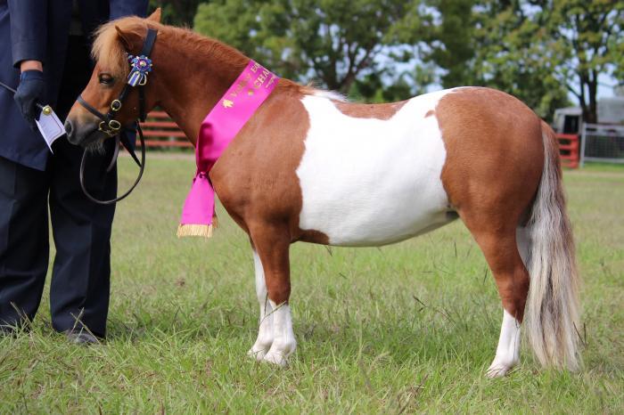 Miniature Pony, Pinto, Shetland Beautiful Filly