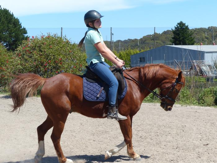 Beginners 14.1hh 8 year old Pony Club gelding