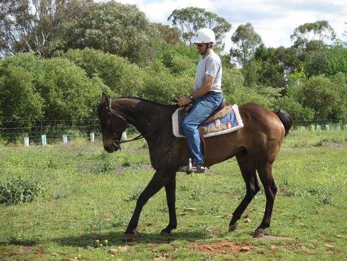 Excellent All-Rounder, Family or Working Horse