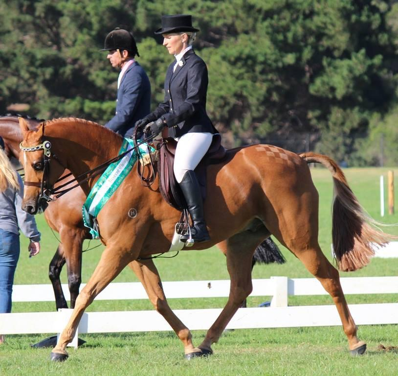 SUCCESSFUL SHOW HORSE