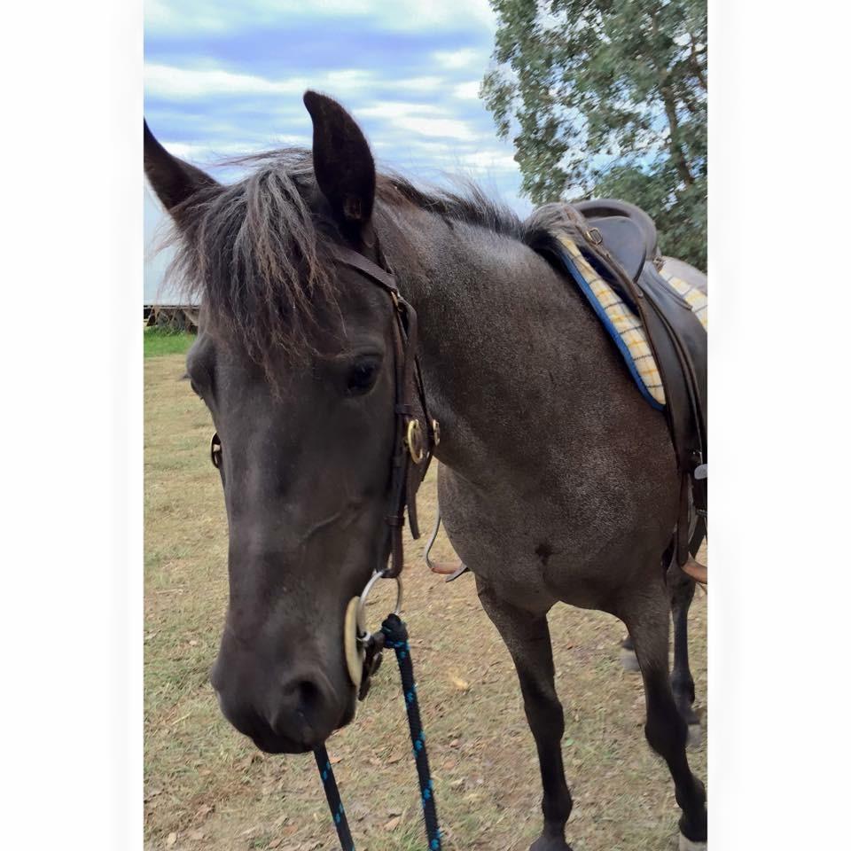 6yo 14hh blue roan mare
