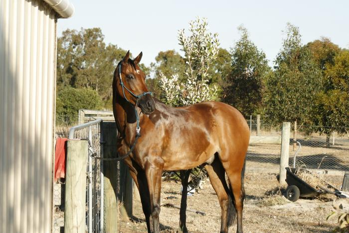 hard to find 14.2 hh galloway gelding for sale