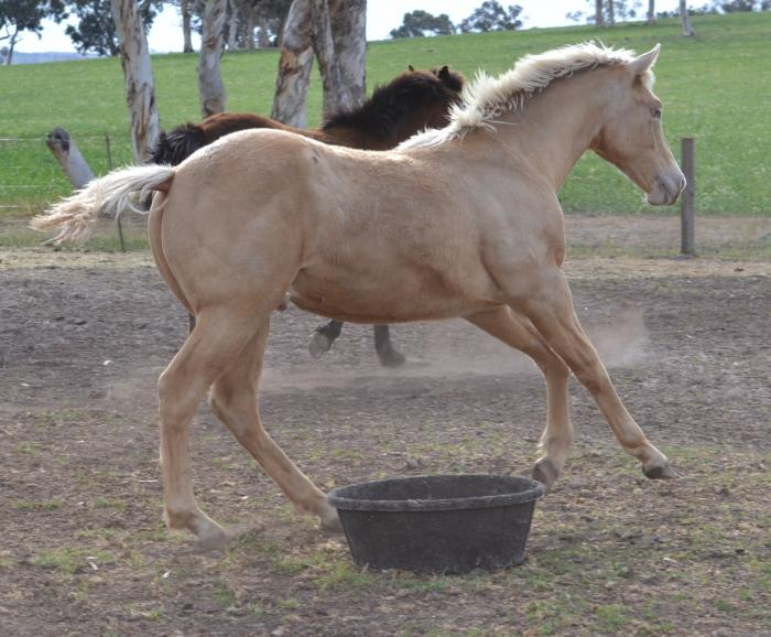 AQHA Gold Champagne Yearling Colt