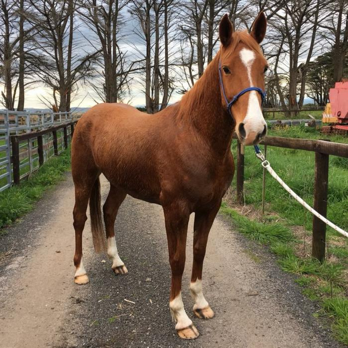 Great project allrounder & or show jumper