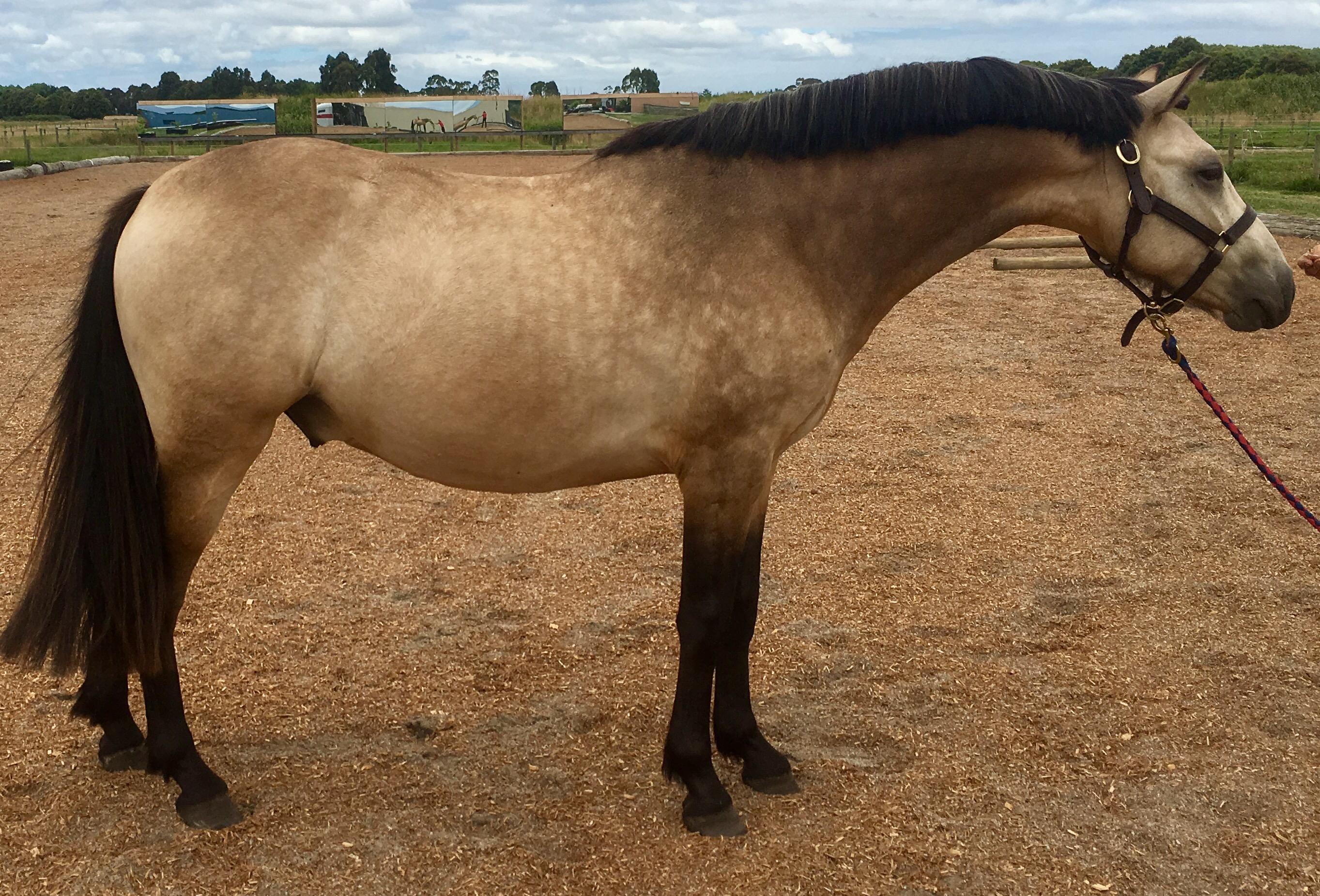Stunning pony dressage prospect