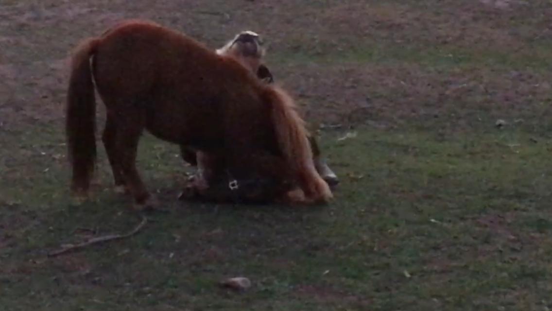 Mini pony gelding