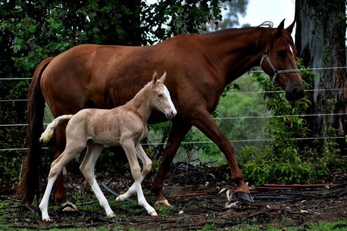 Palomino warmblood filly and Royal Hit Mare