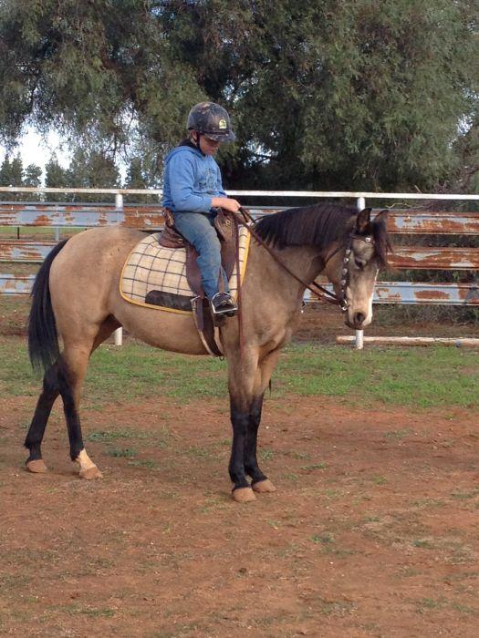 Gorgeous Allrounder / Pony Club mount
