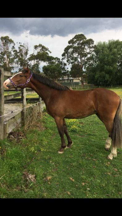 Clydie cross 2yo geld