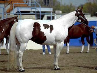 Arabian paint bred gelding