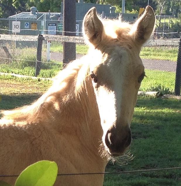 Beautiiful buckskin filly