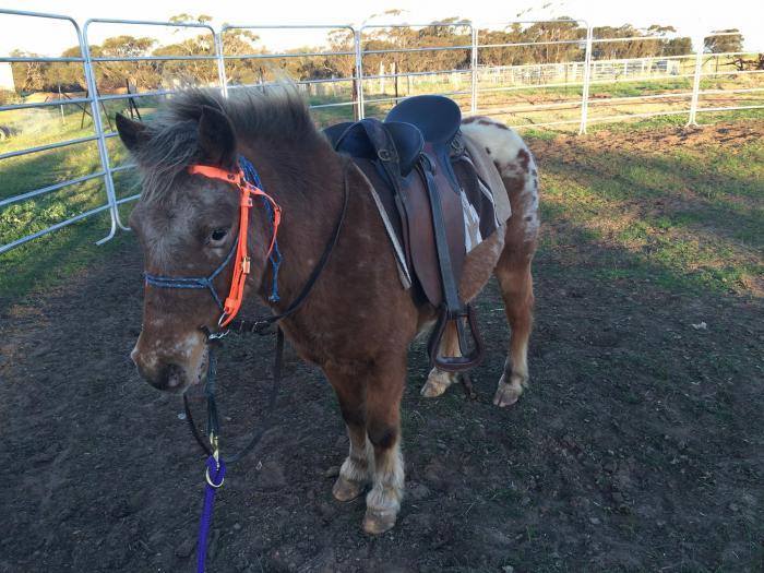Broken pony gelding