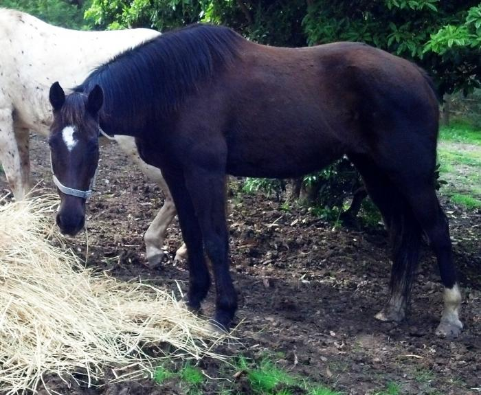 Black Paint mare and Black Andalusian colt foal