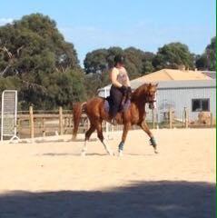 10yo riding pony gelding