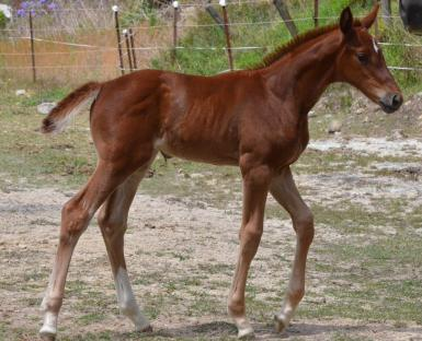 Wimborne Confederate x Escudo 1 filly 4 weeks old