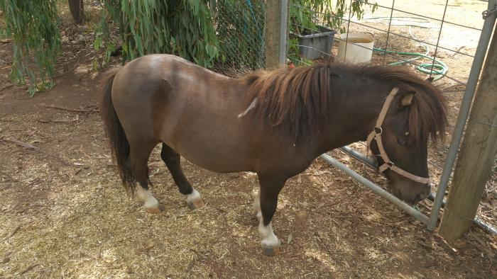 Registered Miniature Stallion