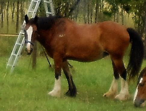Clydesdale Cross Broodmare